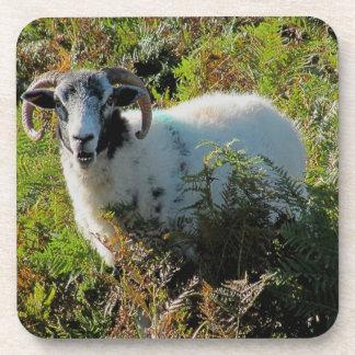 Dartmoor Sheep In Bracken Looking With Interest Coaster