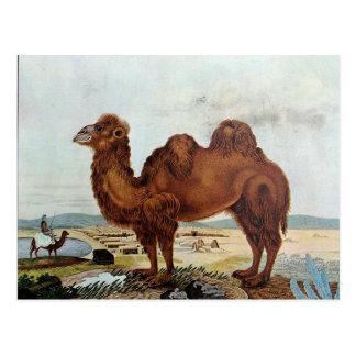 Das Kamel or The Camel (1846) Postcard