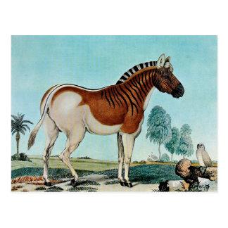 Das Steppenzebra or The Quagga (1882) Postcard
