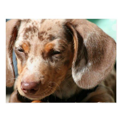 Daschund Dog Postcard