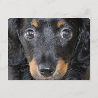 Daschund Puppy Dog Postcard postcard
