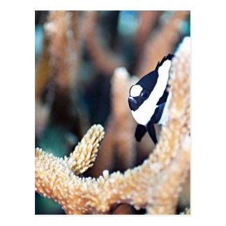 Dascyllus reticular tarjetas postales