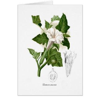Datura inoxia greeting card