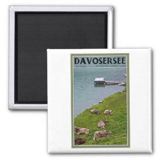 Davos - vacas a lo largo de la orilla del lago imán de frigorifico