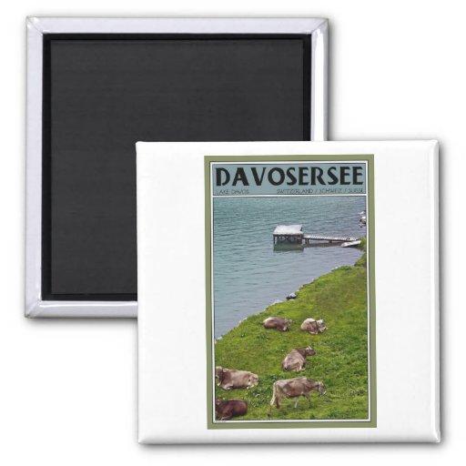 Davos - vacas a lo largo de la orilla del lago imán cuadrado