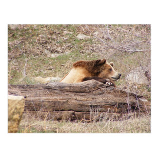 Day Dreaming Grizzly Postcard