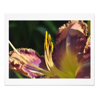 Day Lily in the Morning Sun Wall Decor Photo Print