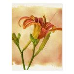 Daylilies - Hemerocallis Post Cards