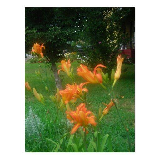 daylilies of summer postcard