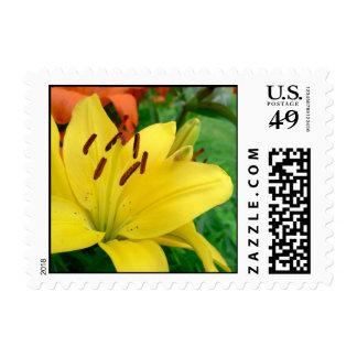 Daylily amarillo sello