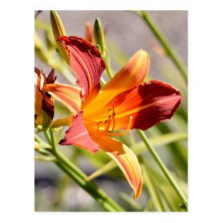 Daylily anaranjado tarjetas postales
