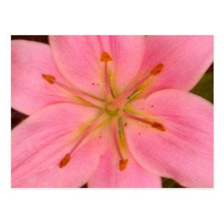 Daylily Beauty 3 Postcard
