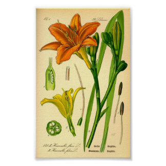 Daylily del tigre (fulva del Hemerocallis) Póster