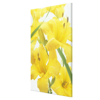 Daylily flowers and flower buds (Hemerocallis) Canvas Prints