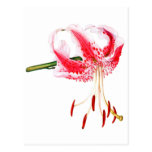 Daylily rosado y blanco tarjetas postales
