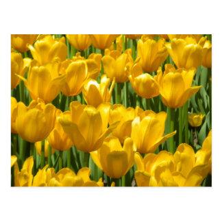 Dazzling Yellow Tulip Border Postcard