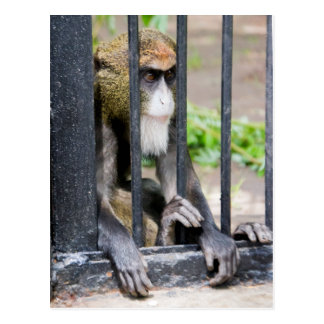 De Brazza's monkey postcard