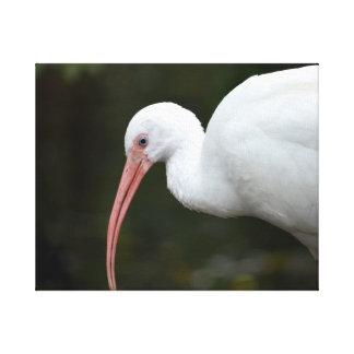 de Ibis del pájaro de la cabeza imagen del ojo azu Impresiones En Lona