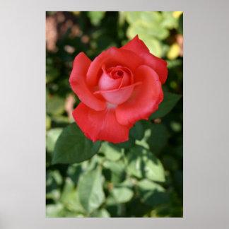 De la flor del flor cierre color de rosa póster
