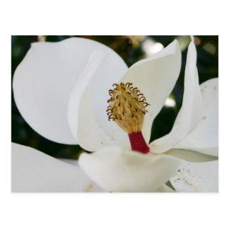 De la magnolia meridional de la flor del flor postal