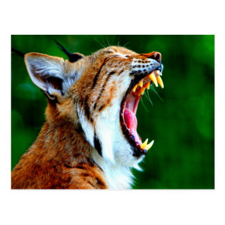 De la risa gato montés ruidoso del lince del lince postales