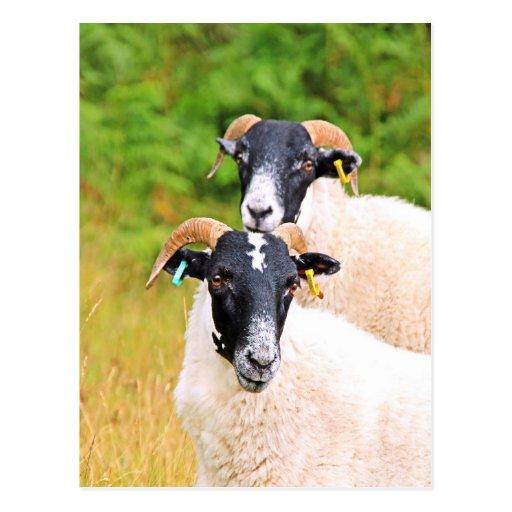 de las ovejas amigos para siempre postal