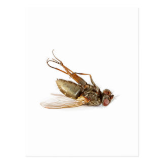 Dead fly postcard