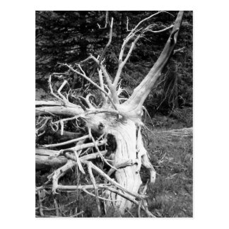 Dead Tree Black and White Photograph Postcard
