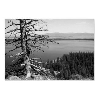 Dead tree, Jenny Lake, Grand Teton, Wyoming Poster