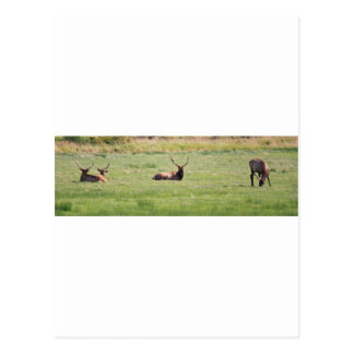 Dean Creek, Oregon Bull Elk Postcard
