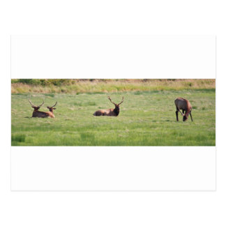 Dean Creek, Oregon Bull Elk Postcard