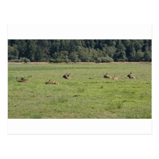 Dean Creek Roosevelt Elk Postcard