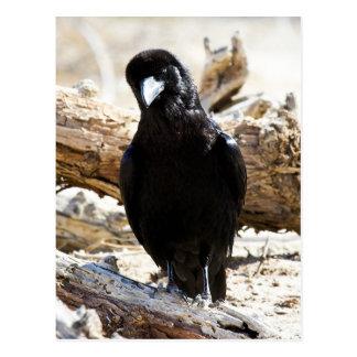 Death Valley Crow Postcard