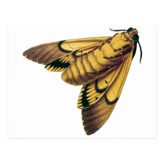 Death's Head Hawk Moth Postcard