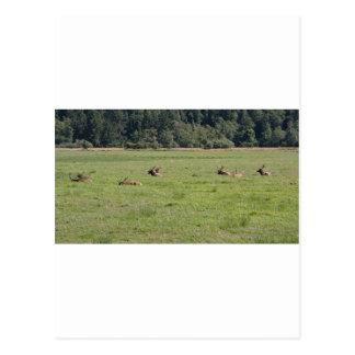 Decano Creek Roosevelt Elk Postales