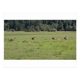 Decano Creek Roosevelt Elk Tarjetas Postales