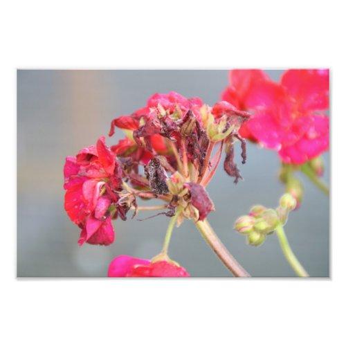 Decaying geranium