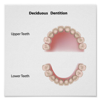 Deciduous dentition (baby teeth) poster