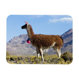 Decorated lama herd in the Puna, Andes mountains 2 Magnet