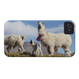 Decorated lama herd in the Puna, Andes mountains 3 Case-Mate iPhone 4 Case