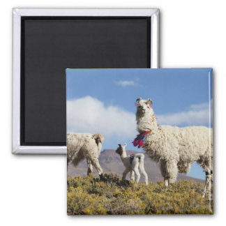 Decorated lama herd in the Puna, Andes mountains 3 Magnet