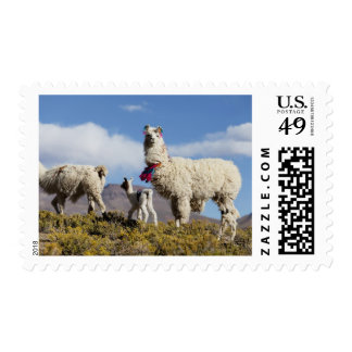 Decorated lama herd in the Puna, Andes mountains 3 Postage