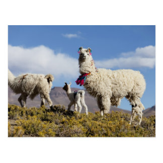 Decorated lama herd in the Puna, Andes mountains 3 Postcard