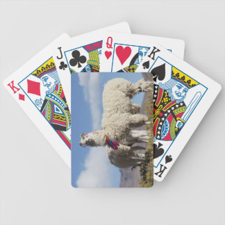 Decorated lama herd in the Puna, Andes mountains Bicycle Playing Cards