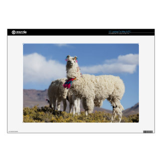 Decorated lama herd in the Puna, Andes mountains Decal For Laptop