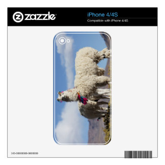 Decorated lama herd in the Puna, Andes mountains Decals For The iPhone 4