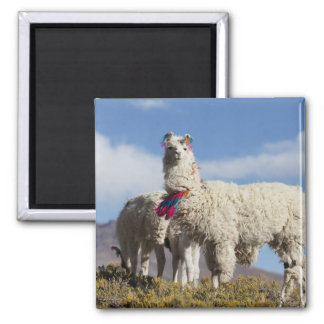 Decorated lama herd in the Puna, Andes mountains Magnet