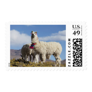 Decorated lama herd in the Puna, Andes mountains Postage