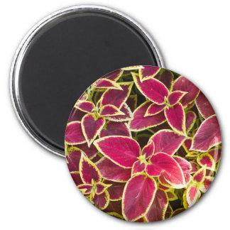 Decorative red Coleus 2 Inch Round Magnet