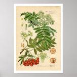 Decorator Botanical Print - Apple, Mountain Ash